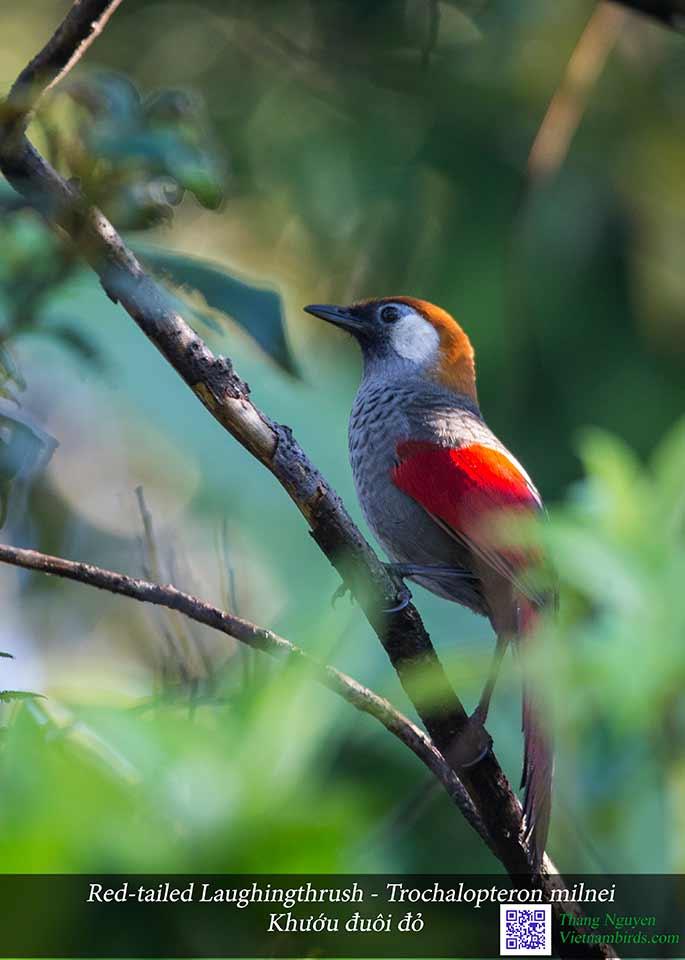Red-tailed Laughingthrush - Trochalopteron milnei - Khướu đuôi đỏ